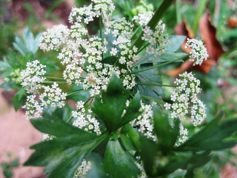 septoria del prezzemolo - fiori
