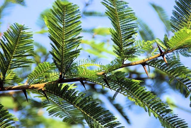 malattie dell'acacia