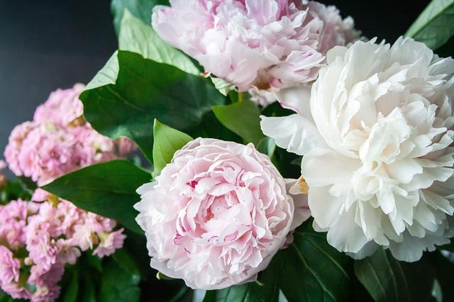 fiori di peonie
