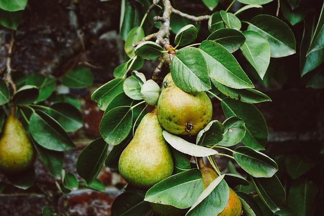 frutti di pero