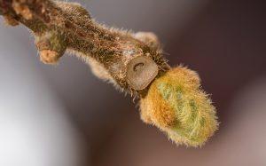 Innesto del kiwi a spacco