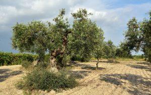 Come propagare l'ulivo