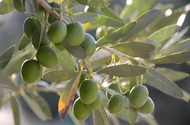talea olivo