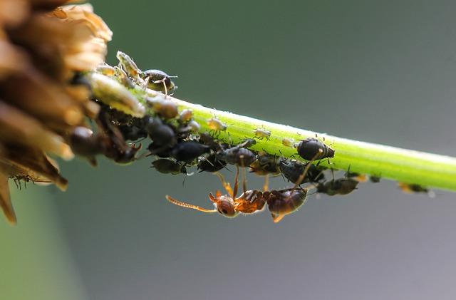 afidi - parassiti del frutteto