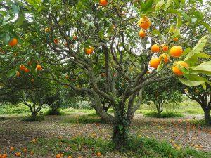 agrumi - albero da frutto
