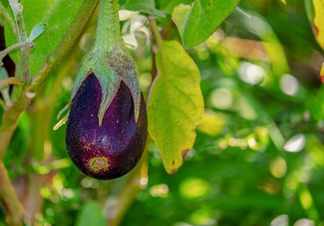 fitopatie della melanzana