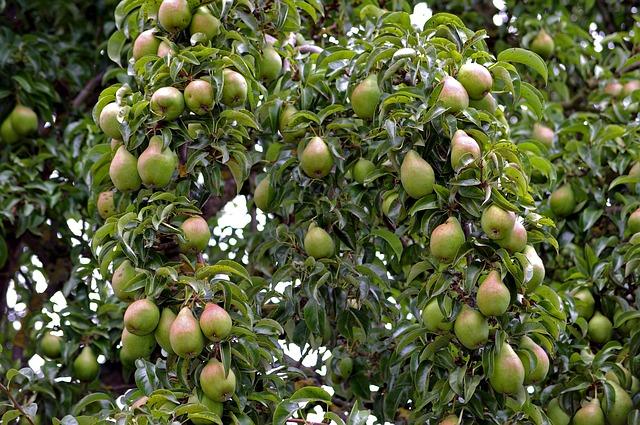 pero - albero da frutto