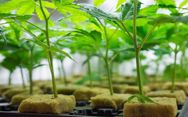 canapa indoor coltivazione