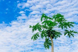 albero di papaya