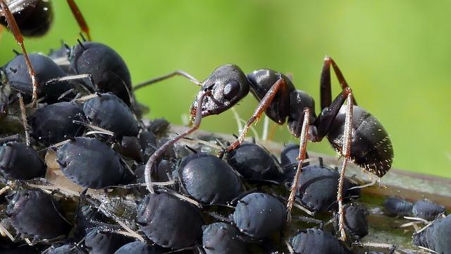 pidocchi neri delle piante