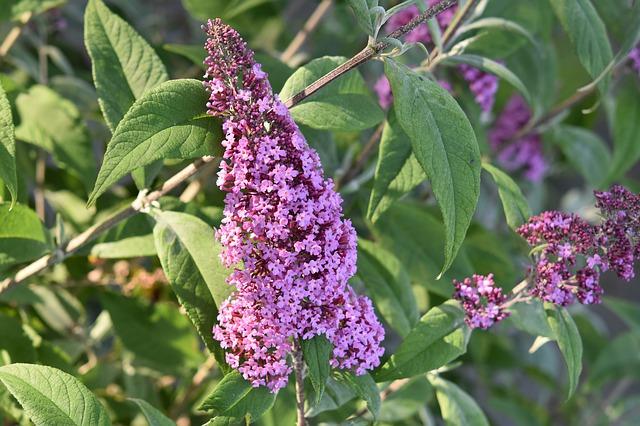 ibrido dell'albero di farfalle