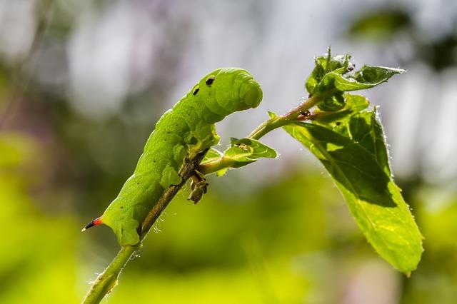 infestazione delle larve