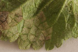 peronospora larvata