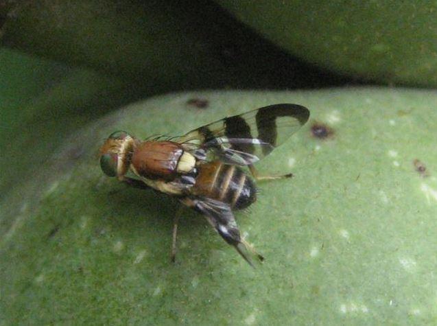 mosca-del-noce