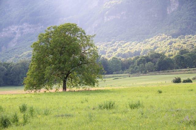 albero di noce