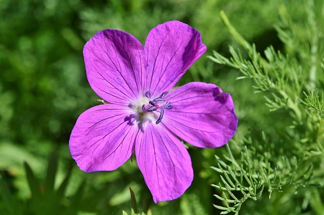 fiore di geranio