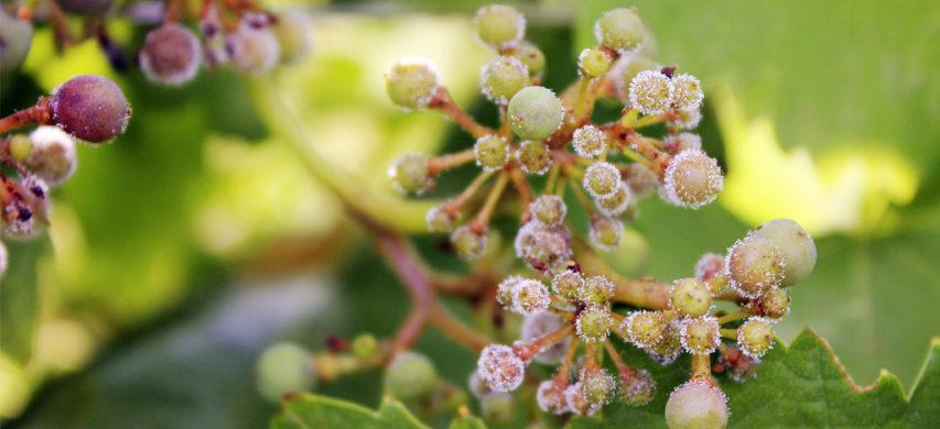 peronospora-della-vite