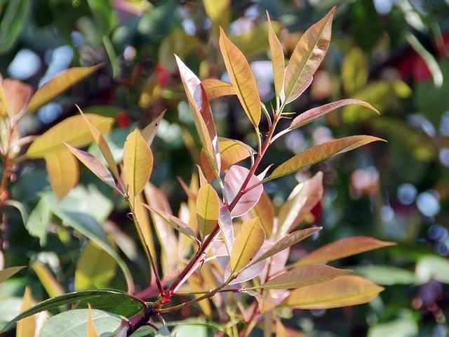 photinia foglie verde chiaro