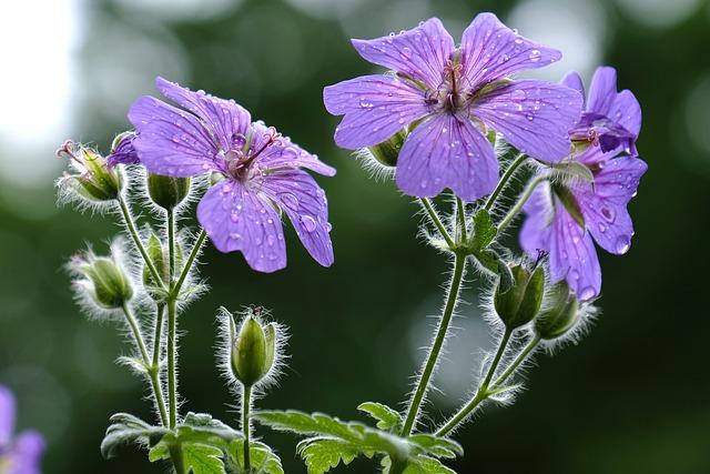 pianta di geranio