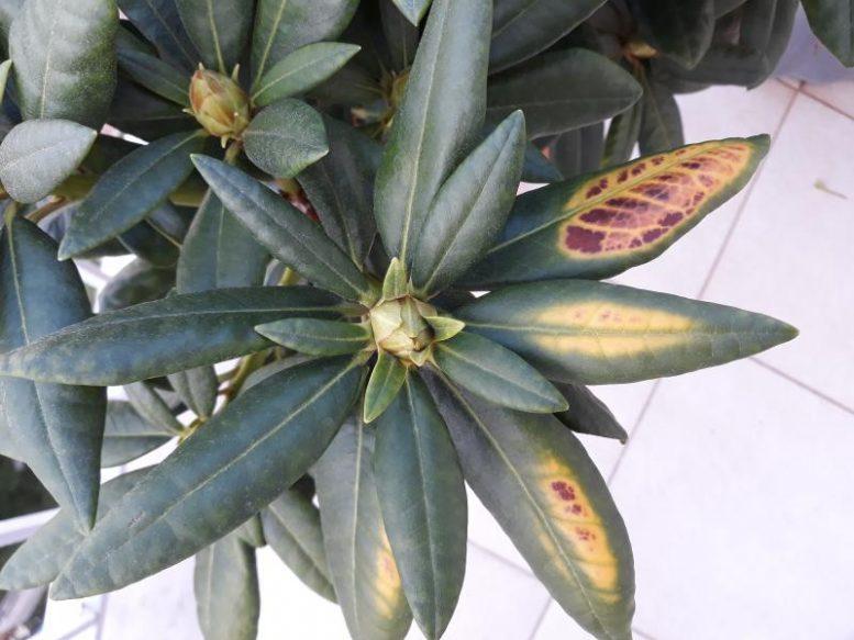 rododendro e foglie secche