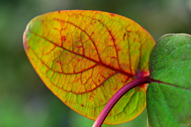 Azalea in vaso perde le foglie