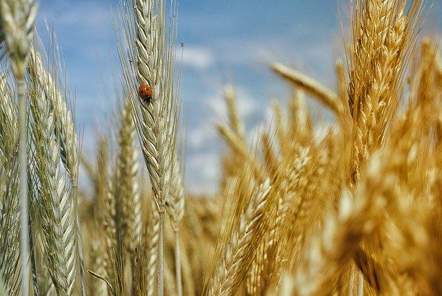 malattie del grano
