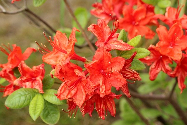 azalea come curarla in inverno