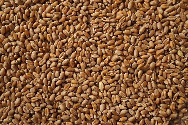 semi di cereali