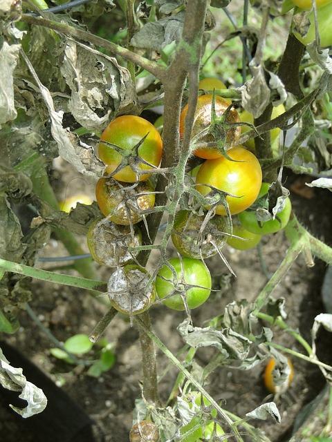 Verde rame pomodoro