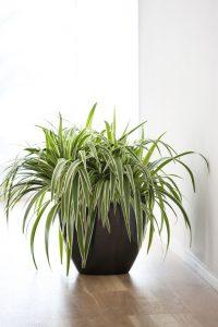 pianta ragno foglie gialle