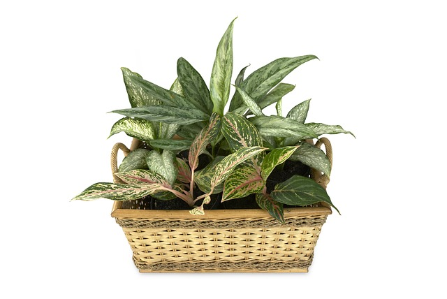 Dieffenbachia-potatura
