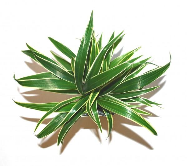 chlorophytum bichetii acquario