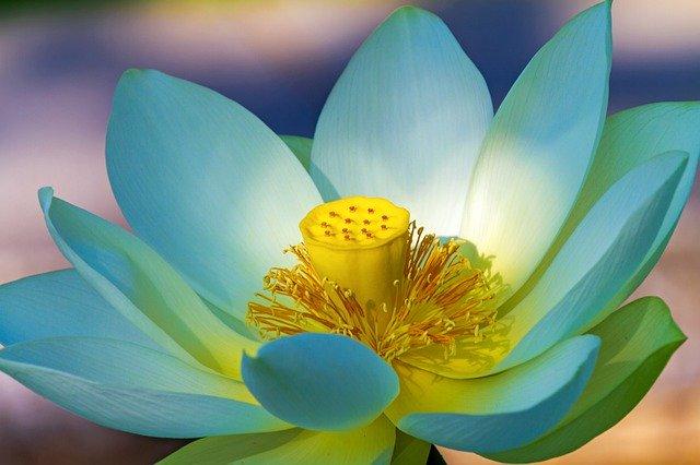 loto - pianta acquatica