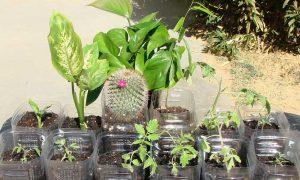 Dieffenbachia riproduzione in acqua
