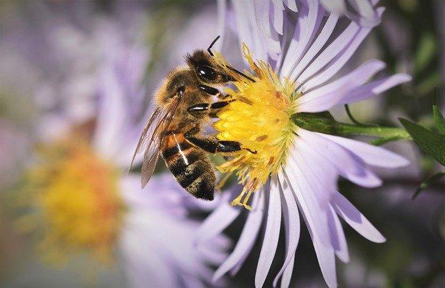 ape su fiore di aster