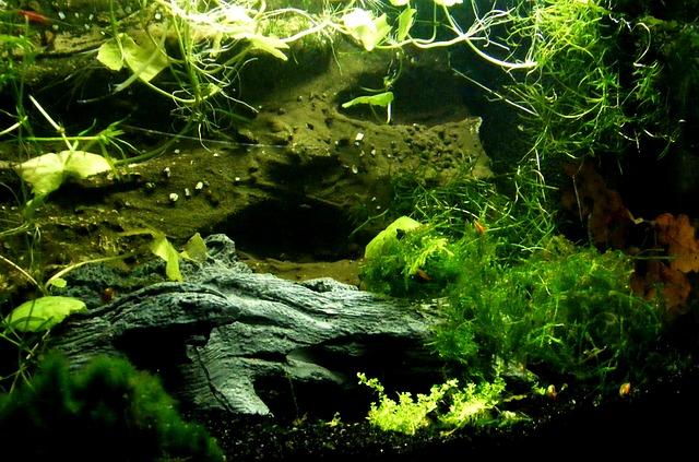 piante acquario in vitro