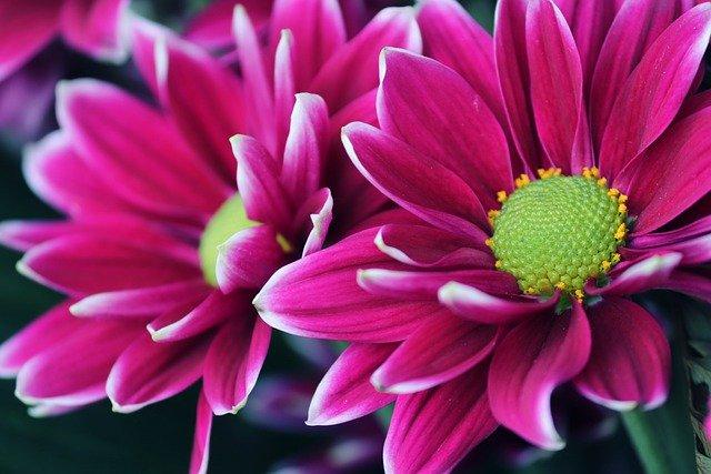 aster coltivazione in vaso
