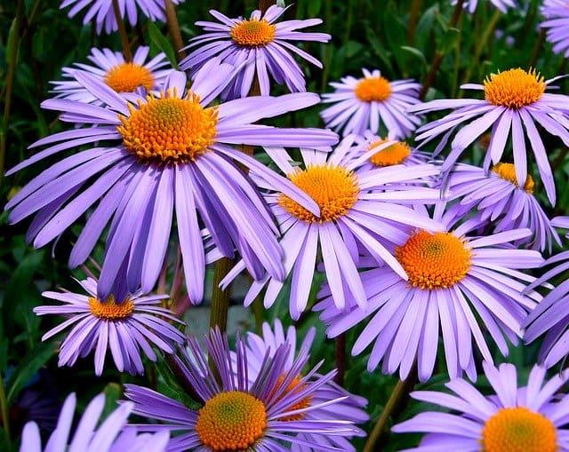 aster fiore perenne