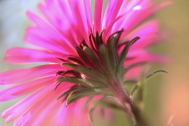 aster rosa