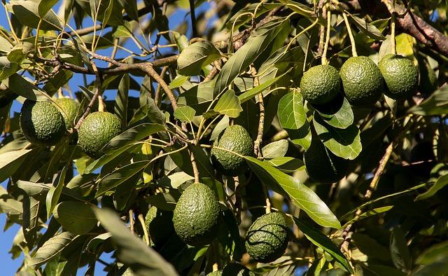 Avocado bonsai come fare