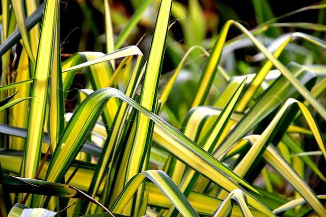 falangio foglie gialle