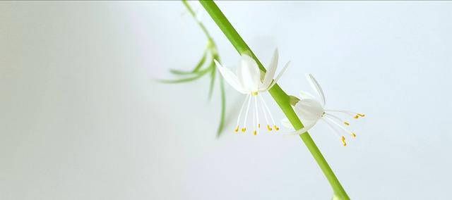 fiore di falangio
