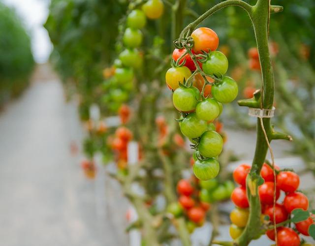 pomodoro in idrocoltura