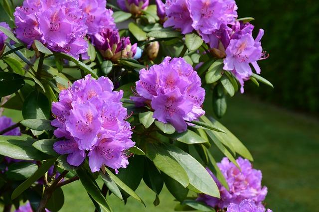 rododendro viola