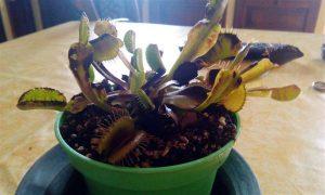 Dionea tagliare foglie nere 3