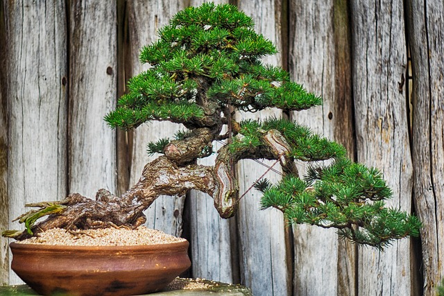 bonsai defogliazione (2)