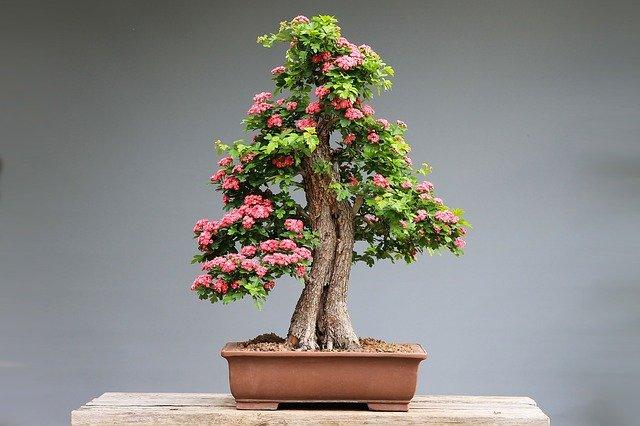 bonsai - tecnica di coltivazione