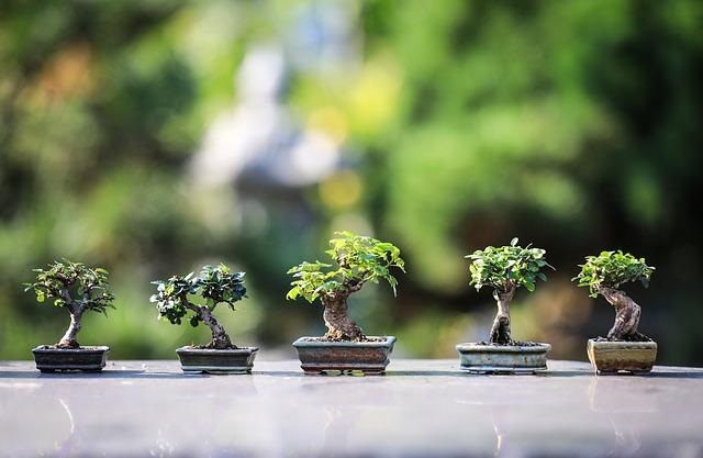 come fare un bonsai di ulivo