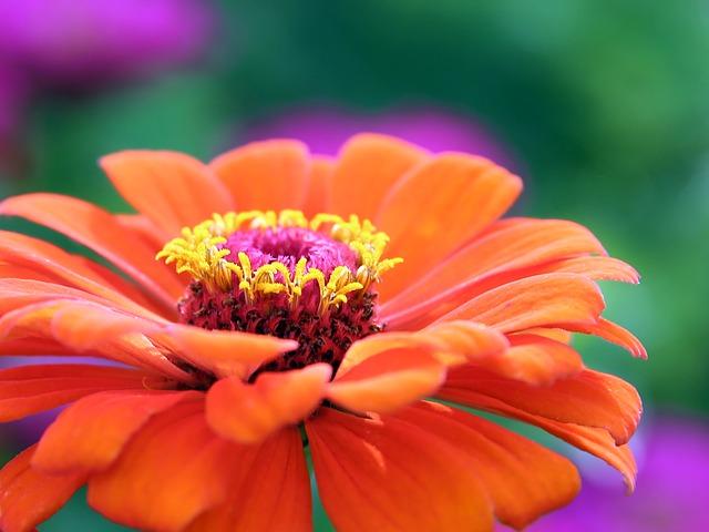 gerbera - pianta erbacea