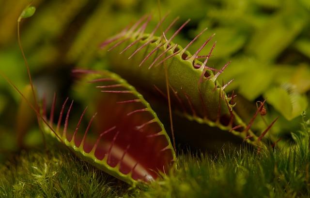 pianta carnivora - dionea